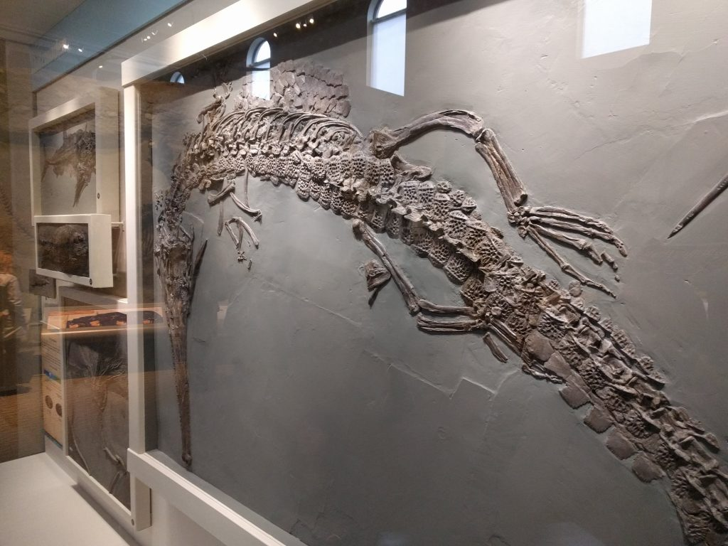 The teleosaurid Steneosaurus in a Holzmaden shale display at the Carnegie Museum of Natural History.
