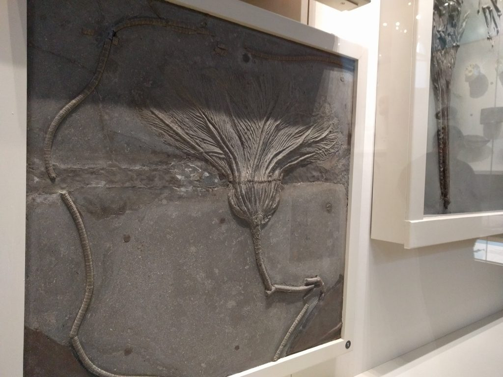 Crinoid from the Holzmaden shale on display at the Carnegie Museum of Natural History.