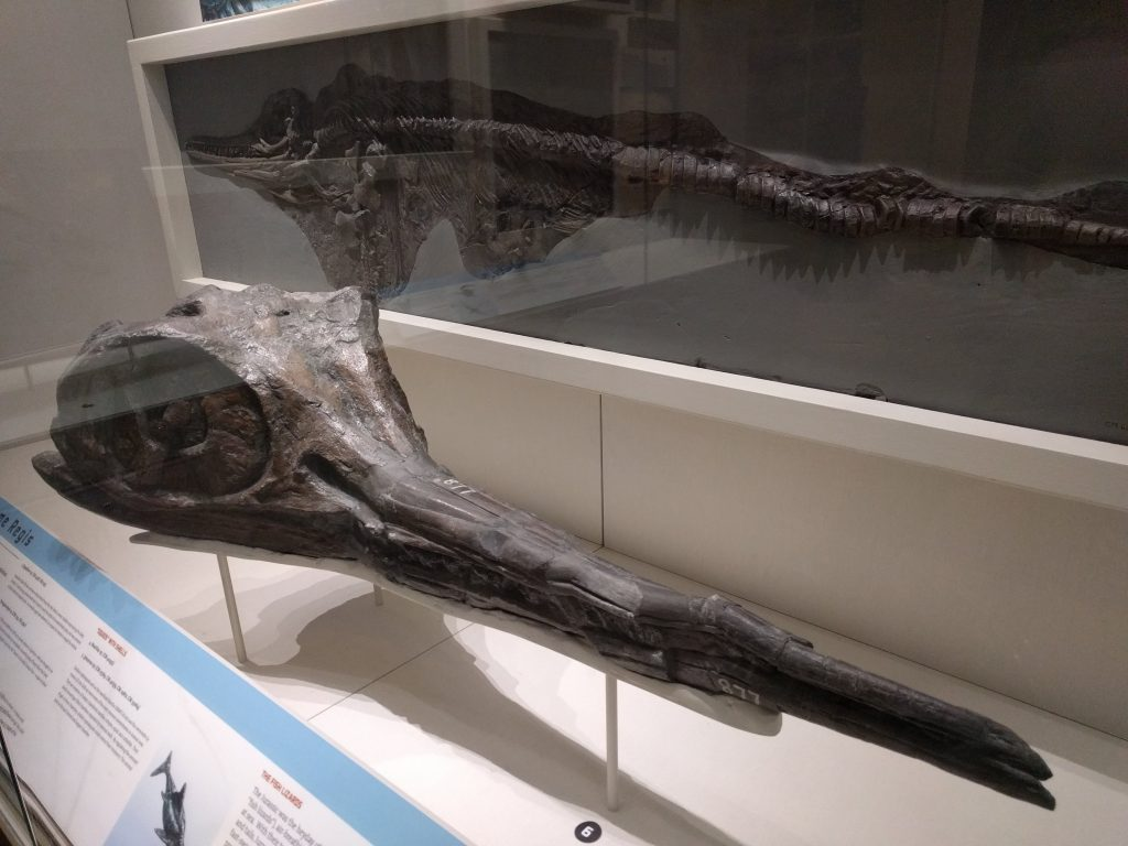 Adult and juvenile Ichthyosaurus specimens from Lyme Regis.