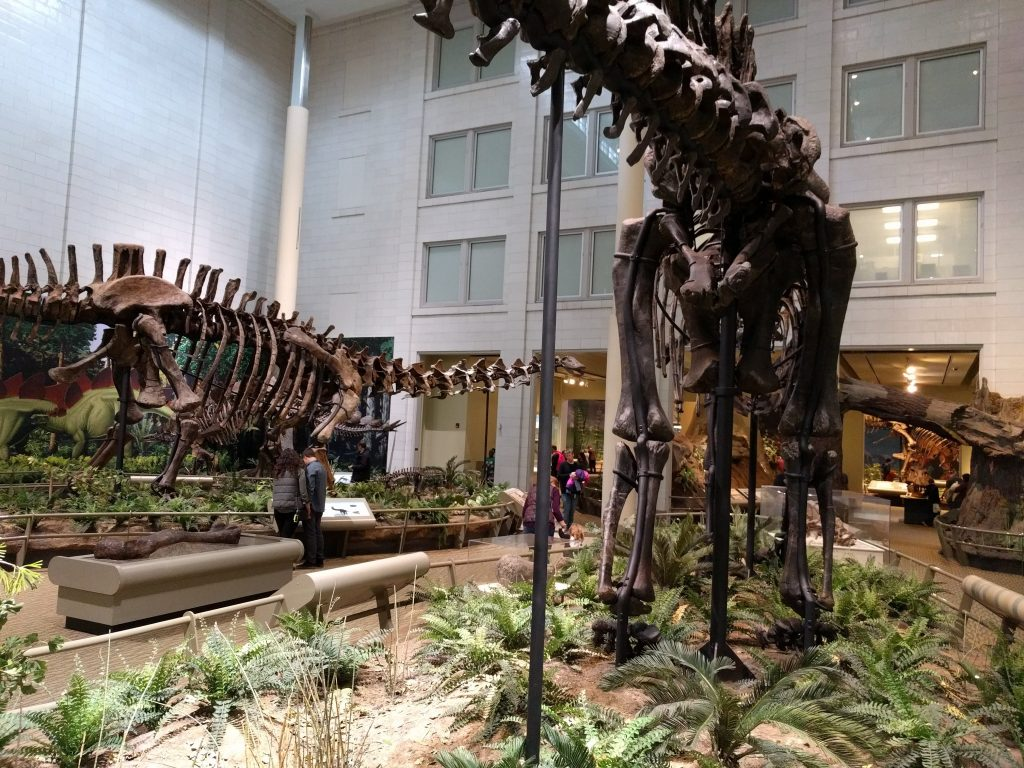 Diplodocus (r) and Apatosaurus (l) in the Jurassic hall of the Carnegie Museum of Natural History.