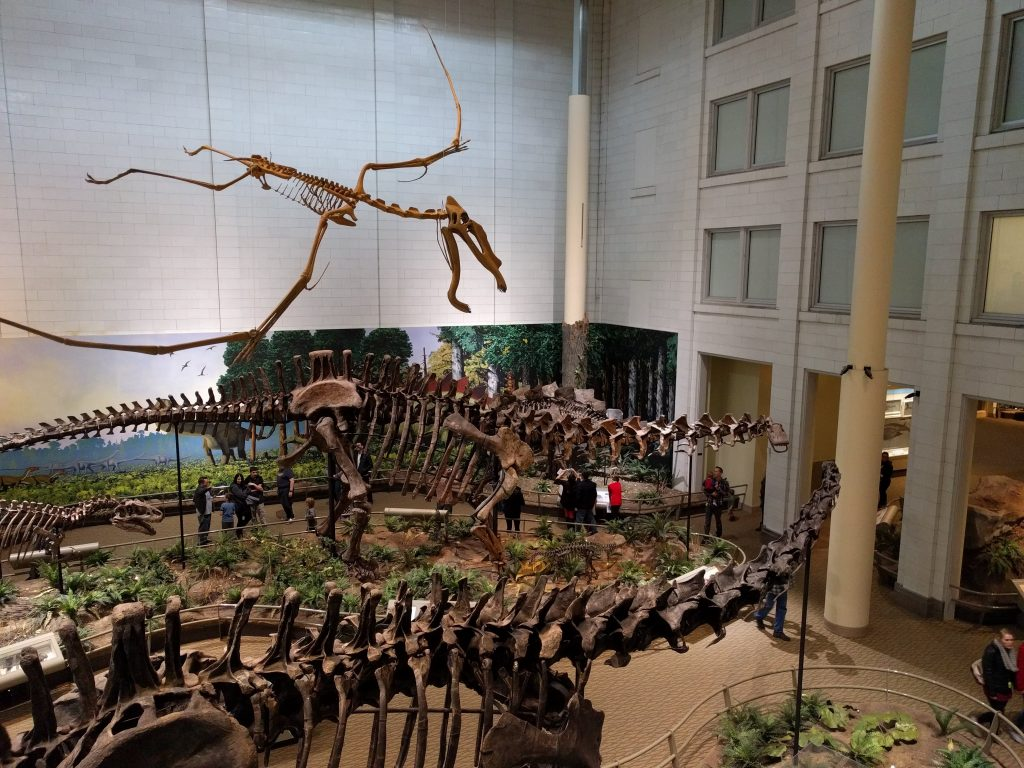 View from the balcony overlooking the Diplodocus and Apatosaurus mounts at the Carnegie Museum of Natural history. Cycnorhamphus soars overhead.