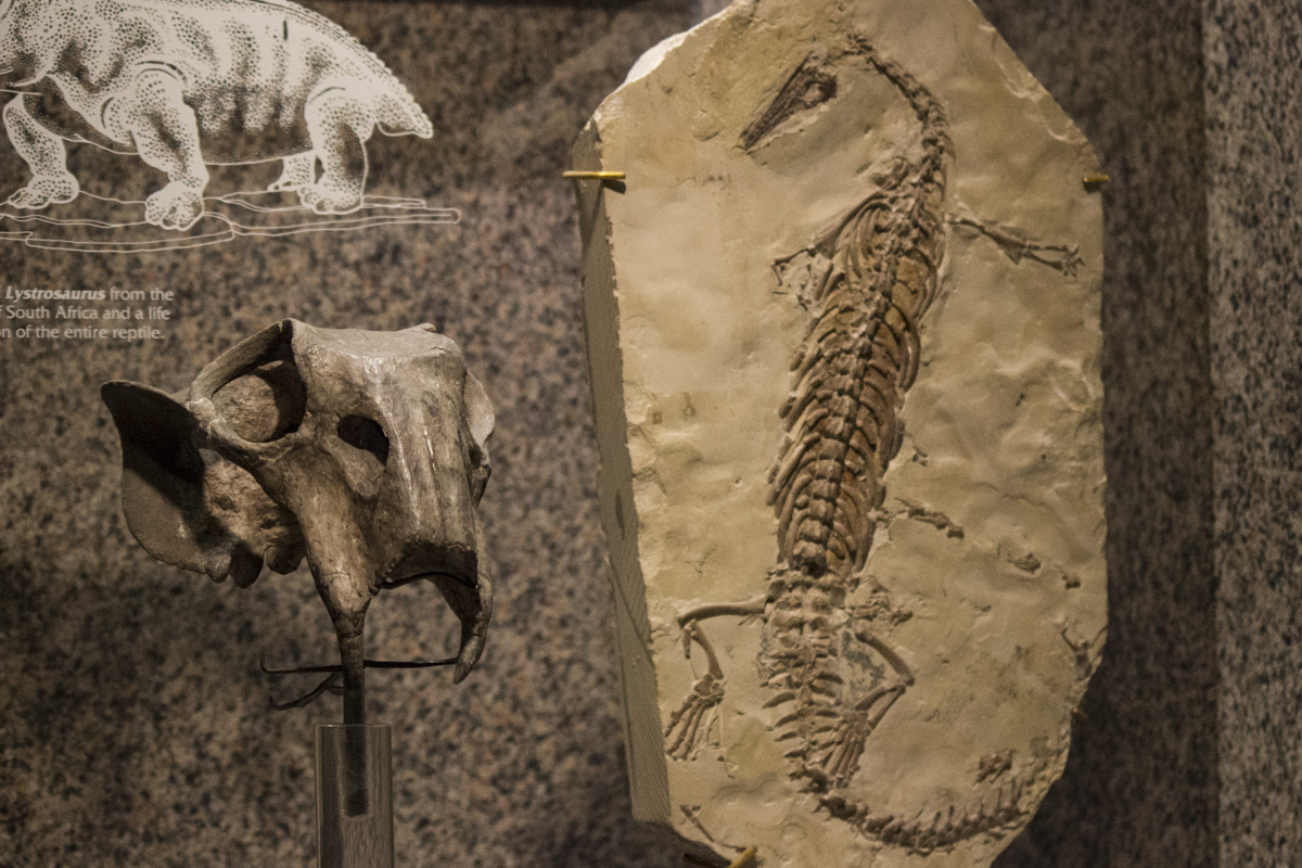 Skull of Lystrosaurus and fossil of Mesosaurus from the Carnegie Museum of Natural History
