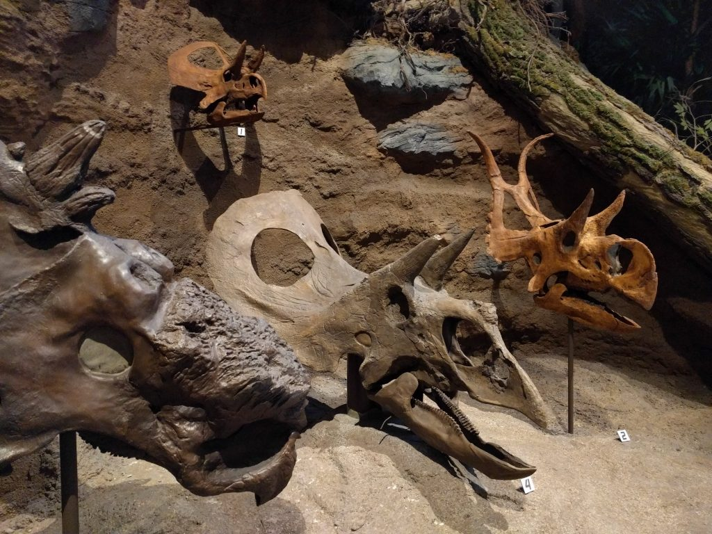 Ceratopsid skull display at the Carnegie Museum of Natural History