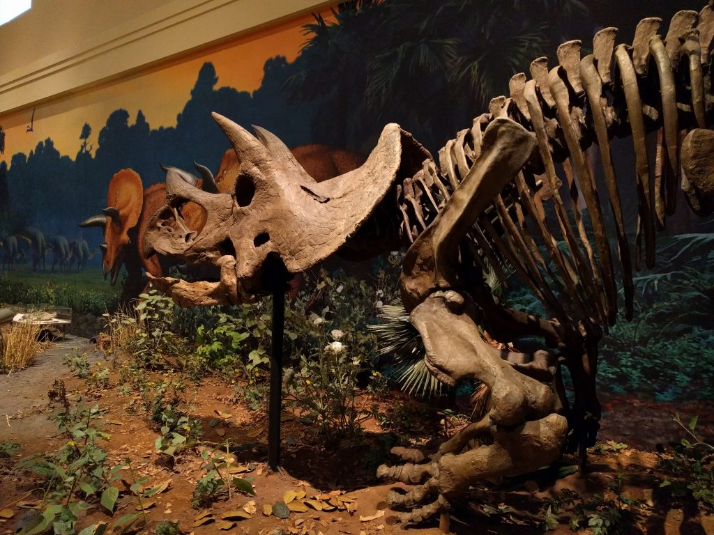 Triceratops prorus mount at the Carnegie Museum of Natural History