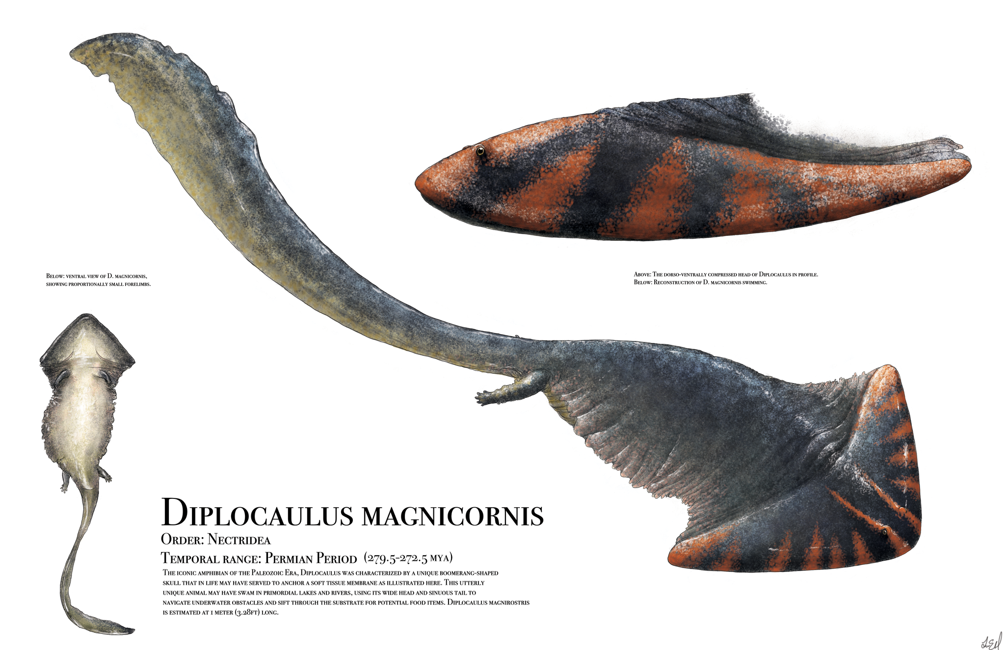 Paleoartist Liam Elward's rendering of extinct Permian amphibian Dipocaulus magnicornis