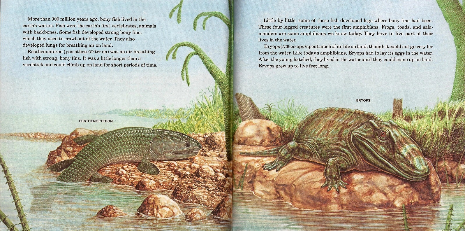 Eusthenopteron and Eryops by Peter Zallinger