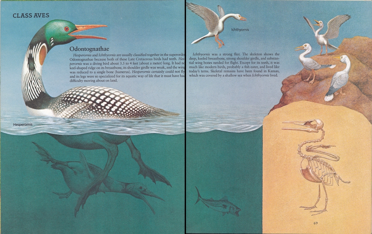 Hesperornis and Ichthyornis by Peter Zallinger