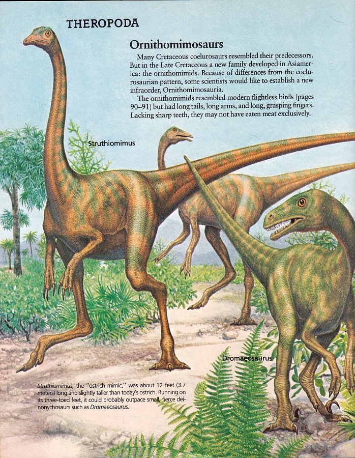 Struthiomimus and Dromaeosaurus by Peter Zallinger