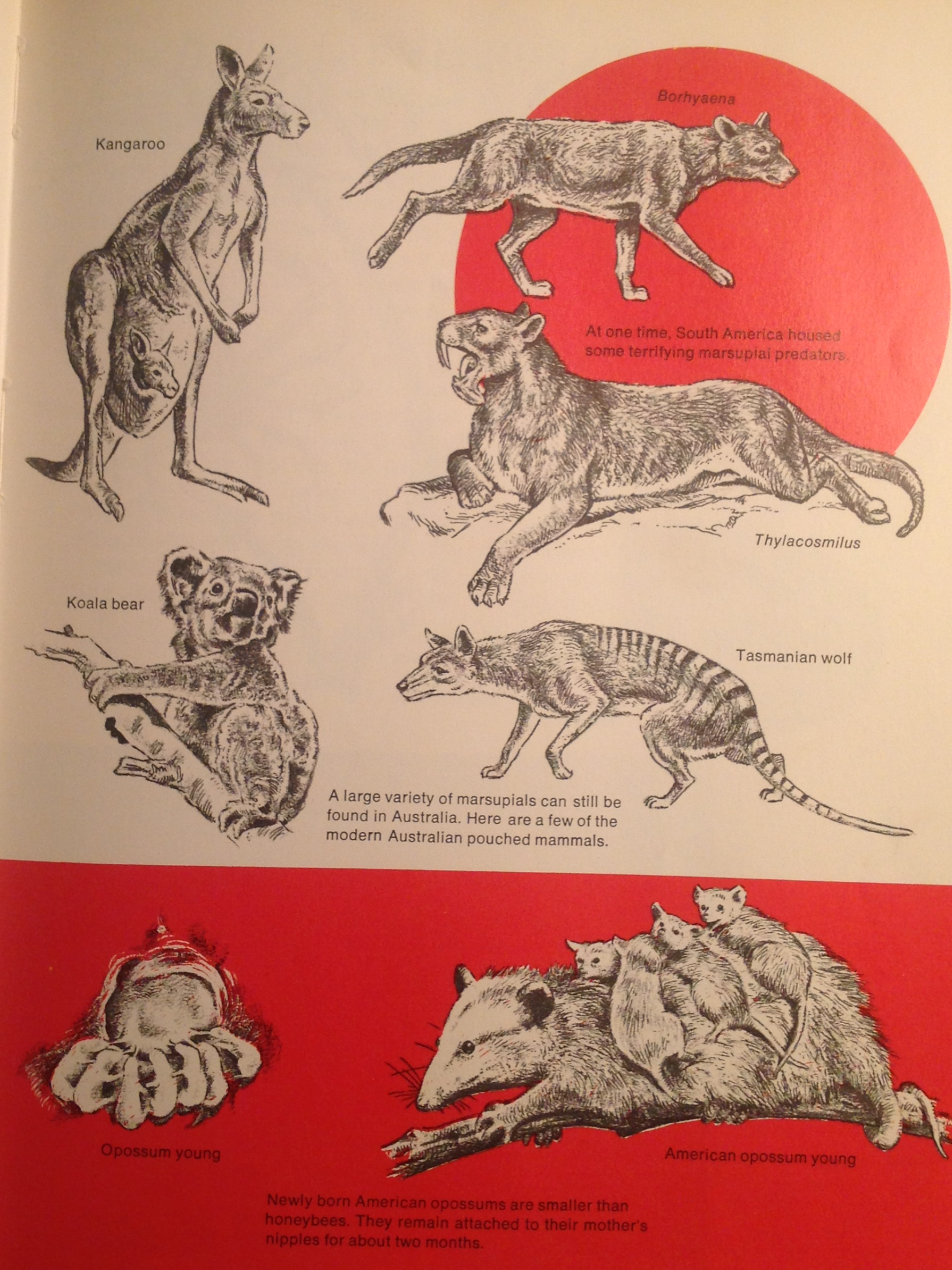 "A page from ""Then and Now"" of marsupials"