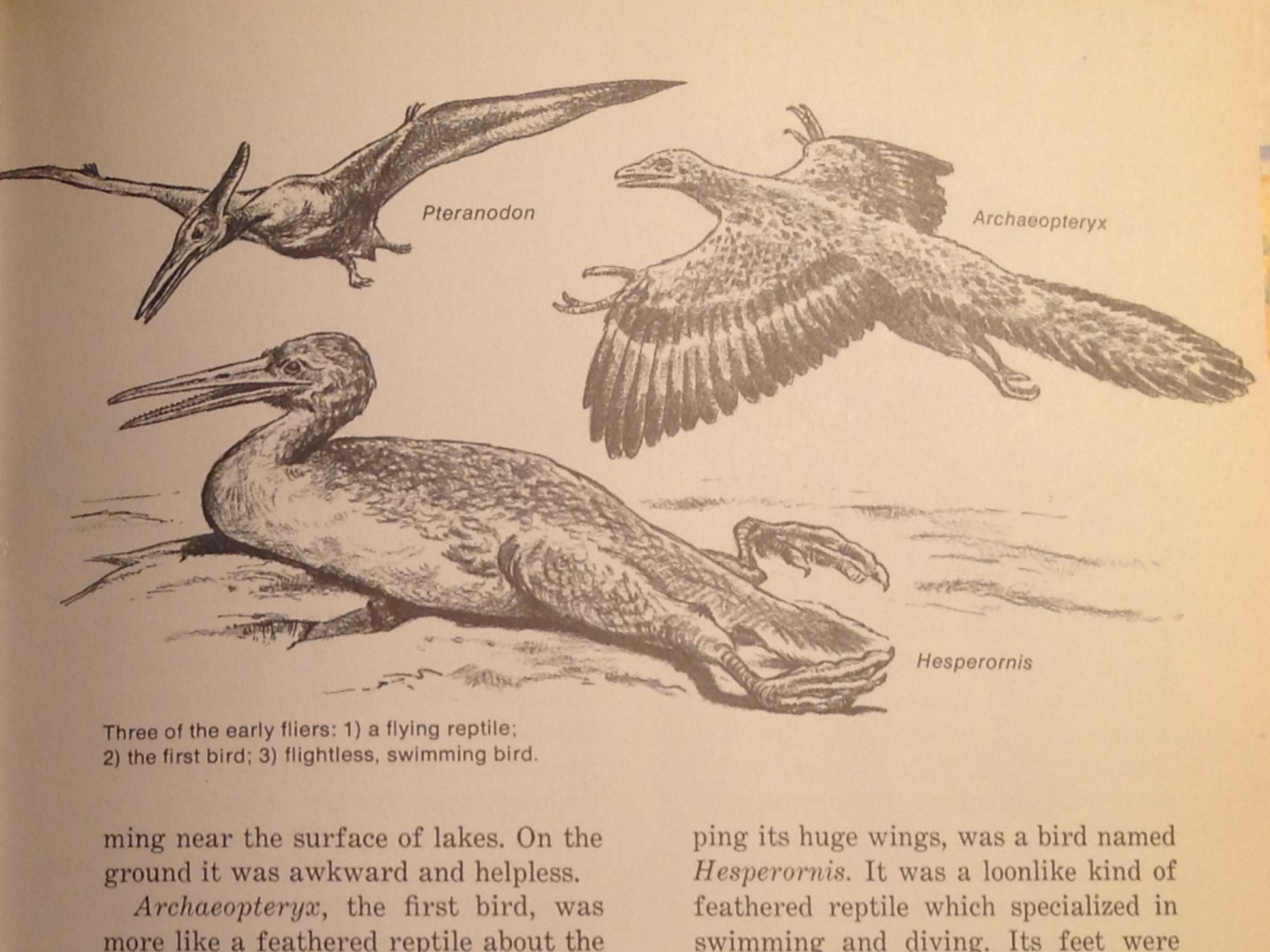 "Page from ""Then and Now"" featuring drawings of Archaeopteryx, Ichthyornis, and Pteranodon"